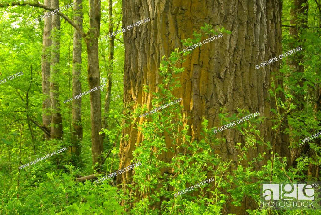 Stock Photo: Cottonwood trunk in forest, Willamette Mission State Park, Oregon.