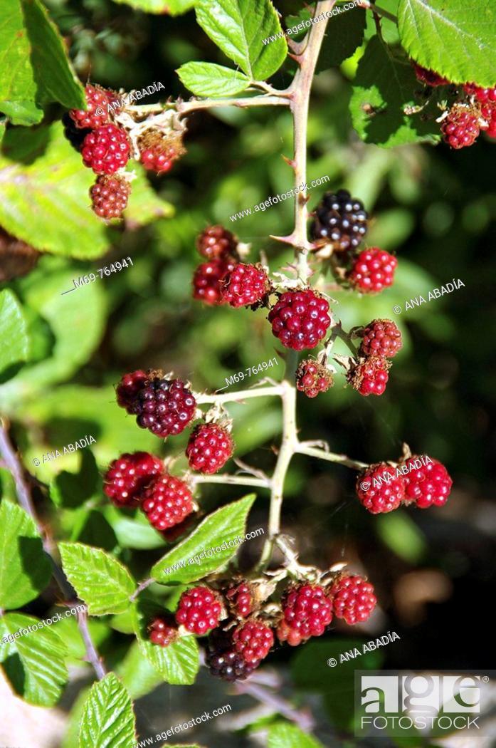 Stock Photo: Blackberries.