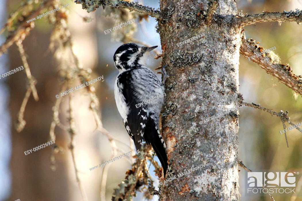 Stock Photo: Three-toed Woodpecker (Picoides tridactylus). Sweden.