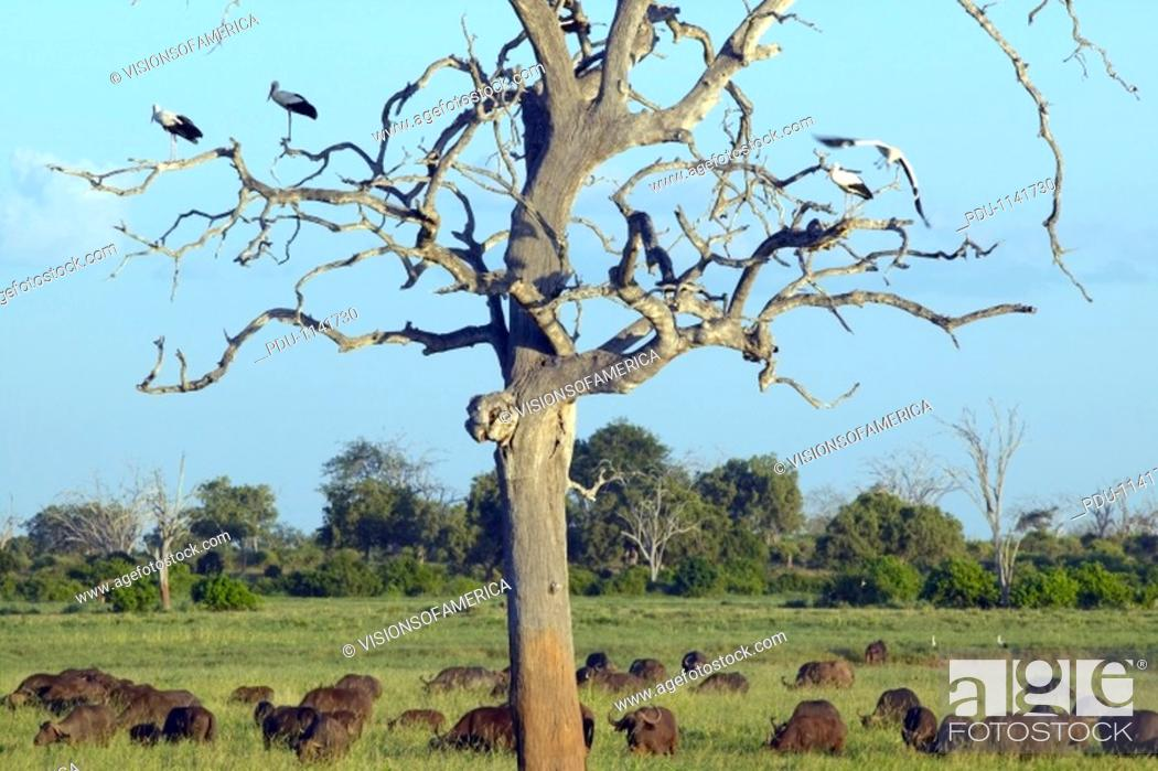 Stock Photo: European storks in tree and cape buffalo at sunset in Tsavo National park, Kenya, Africa.