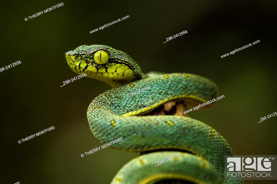 Stock Photo: Bothriopsis bilineata. New born Green jararaca. Tree Viperid. Venomous Snake (solenoglyph) mostly nocturnal. Behaviour varies according to the specimen.