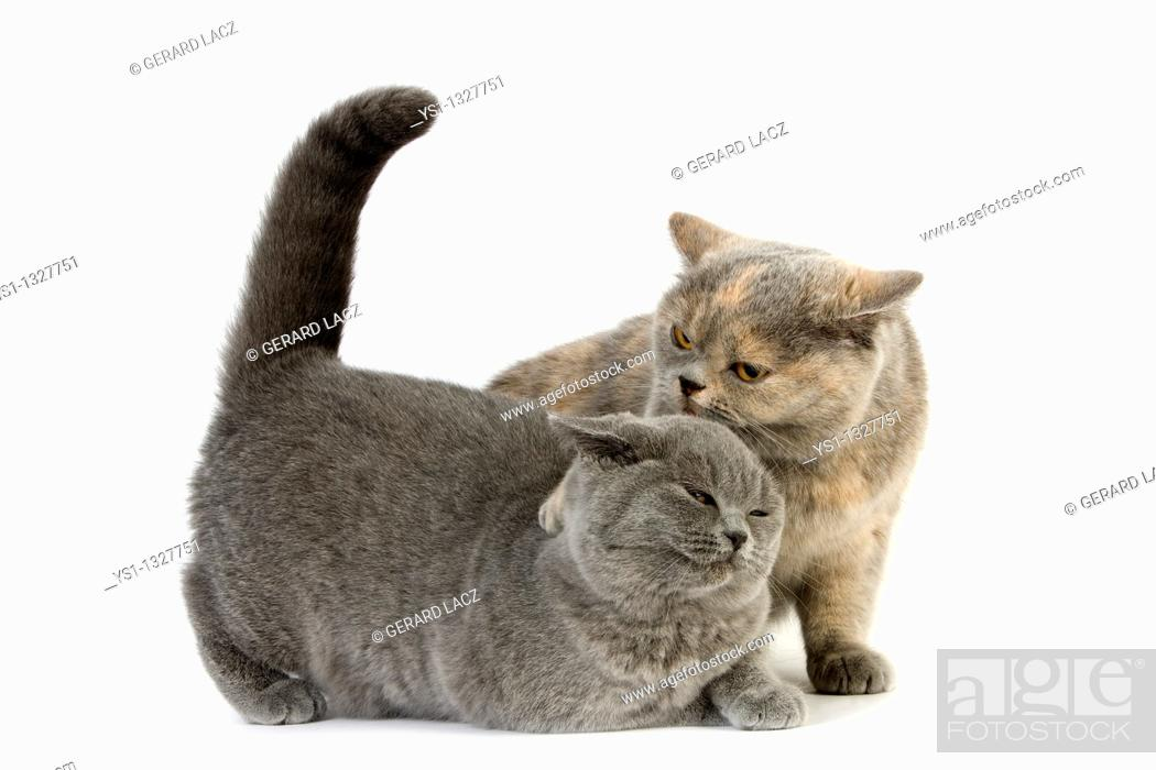 Stock Photo: BLUE CREAM BRITISH SHORTHAIR FEMALE CAT AND BLUE BRITISH SHORTHAIR, DOMINANCE AND SUBMISSION.