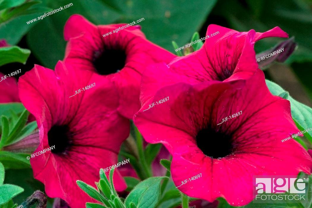Stock Photo: petunia - blossoms.