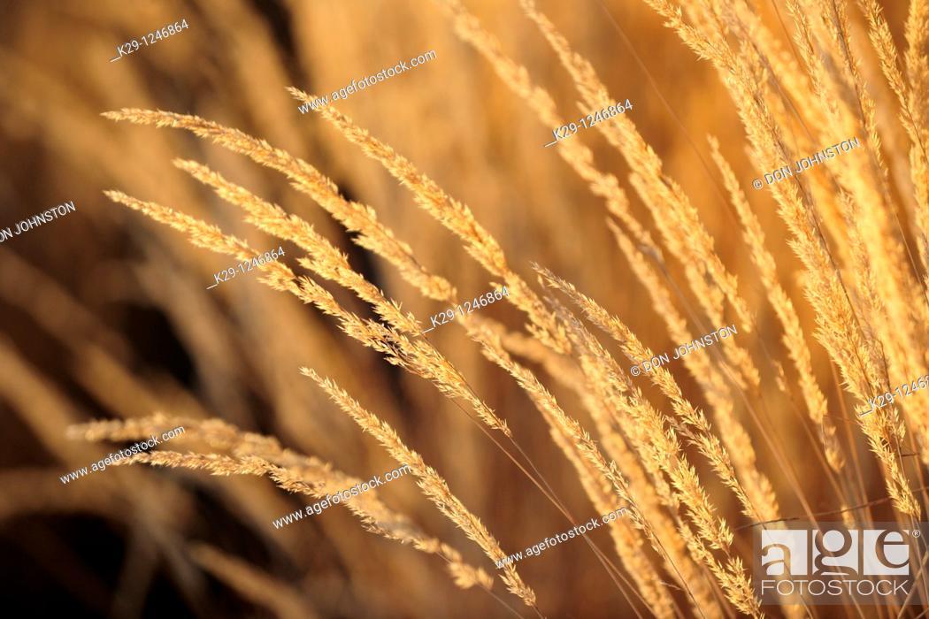 Stock Photo: Ornamental garden grasses- Karl Foerster.