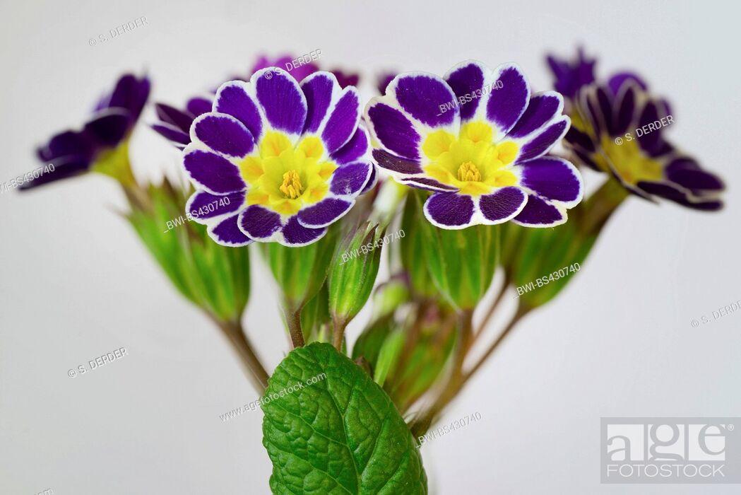 Stock Photo: cowslip, primrose (Primula 'Silver Lace Black', Primula Silver Lace Black, Primula x polyantha, Primula polyantha), cultivar Sorte Silver Lace Black.