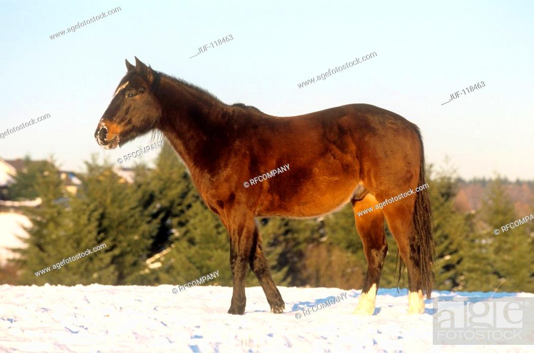 Stock Photo: Polo Pony - standing in snow.