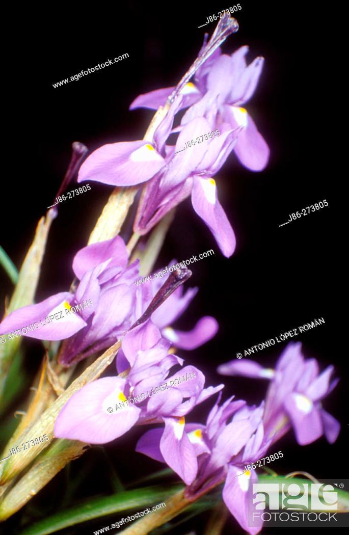 Stock Photo: Iris (Iris sysyrinchium).