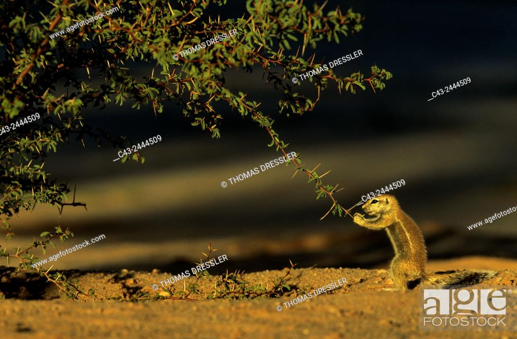 Stock Photo: Cape Ground Squirrel (Xerus inauris) - Young, cautiously feeding at a thornbush. Kalahari Desert, Kgalagadi Transfrontier Park, South Africa.