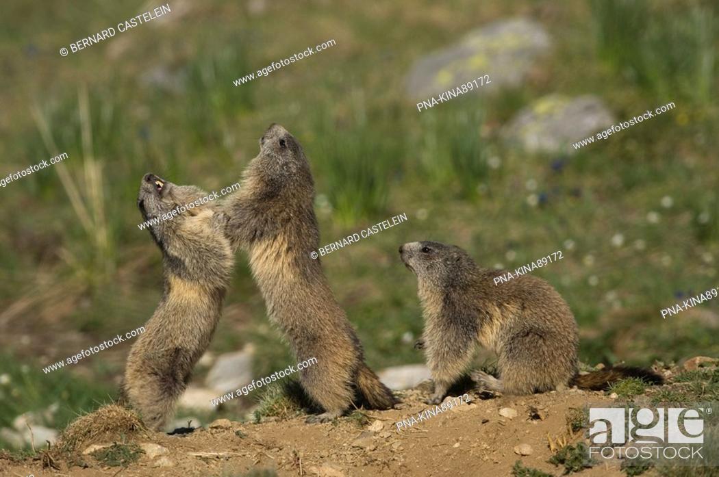 Stock Photo: Alpine Marmot Marmota marmota - Alps, Hautes-Alpes, Provence-Alpes-Côte d'Azur, France, Europe.