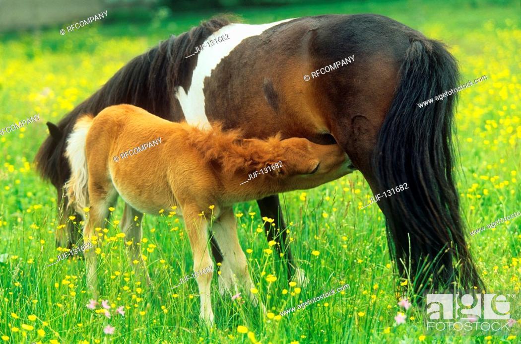 Stock Photo: mare suckling foal.
