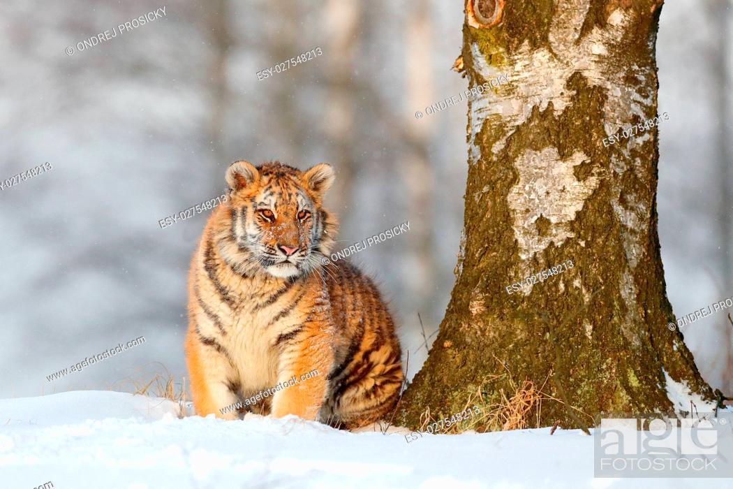 Stock Photo: siberian tiger.