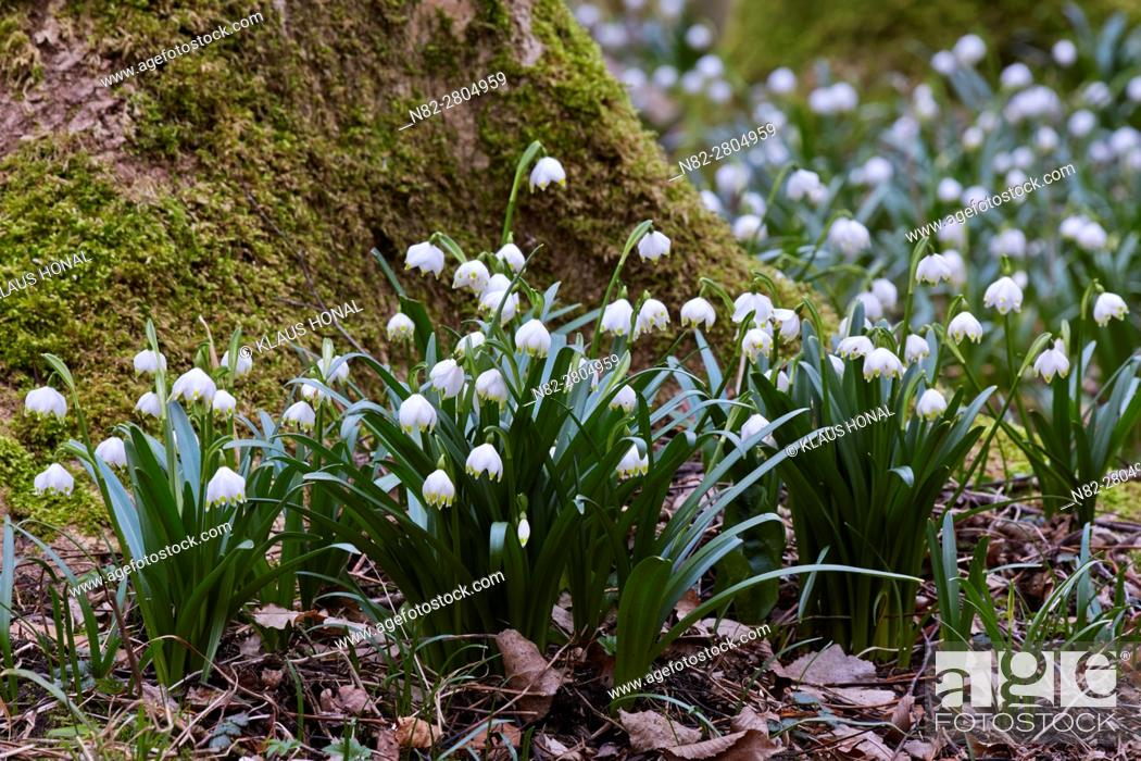 Stock Photo: Spring snowflakes (Leucojum vernum) blooming in deciduous forest on damp and wet, nutrient-rich and moderately acid loamy and clay soils - Bavaria/Germany.