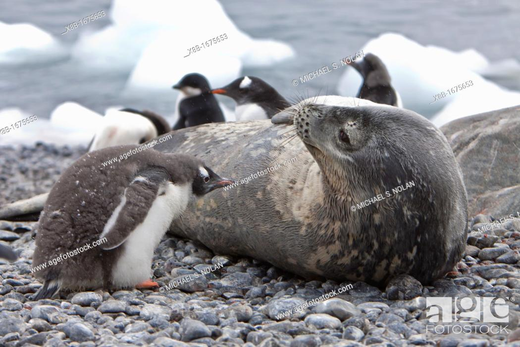 Imagen: Weddell Seal Leptonychotes weddellii hauled out on the beach at Brown Bluff on the Antarctic Peninsula, Southern Ocean.