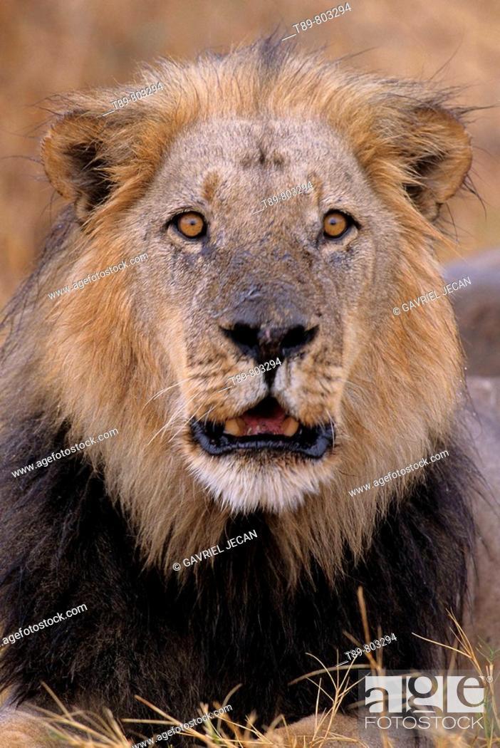 Stock Photo: Okavango Delta  Lion Panthera leo.
