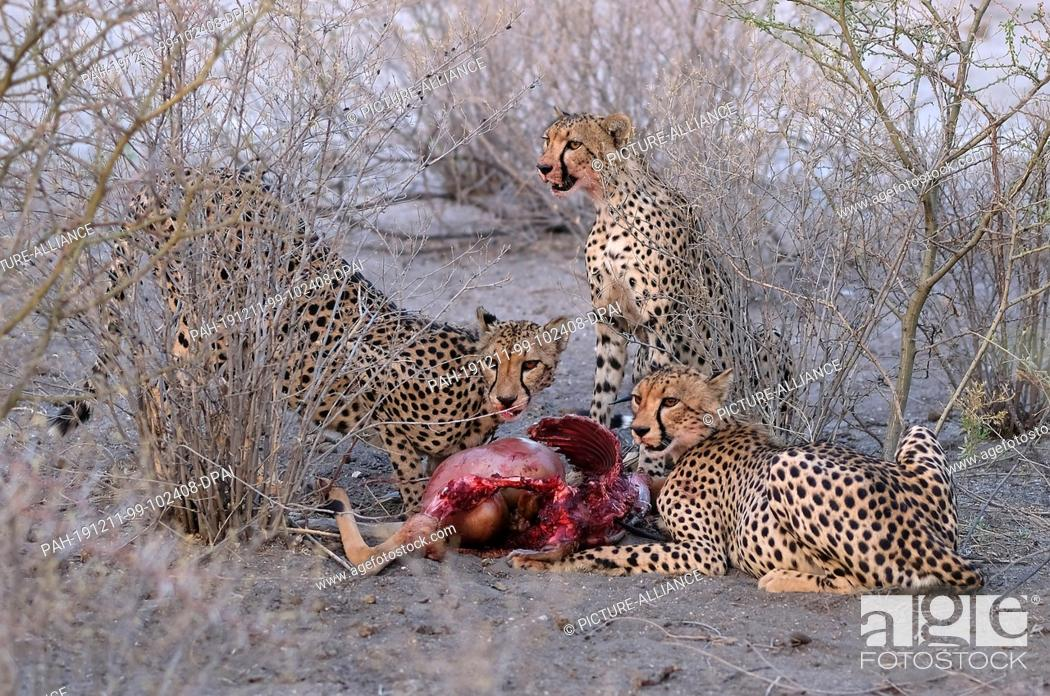Stock Photo: 28 November 2019, Namibia, Etosha-Nationalpark: Cheetahs eat an antelope in Etosha National Park. Photo: Oliver Berg/dpa.