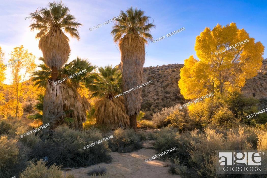 Imagen: USA, California, Joshua Tree National Park, Autumn trees at sunset.