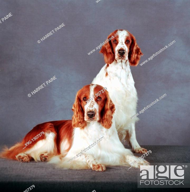Stock Photo: English Springer Spaniel: type of breed.