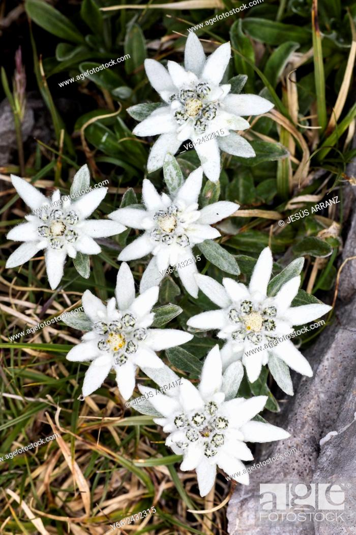 Stock Photo: Edelweiss.