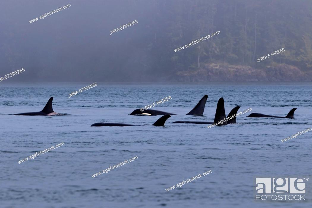 Stock Photo: Northern resident killer whales in resting line in front of Plumper Islands off Vancouver Island, British Columbi, Canada,.