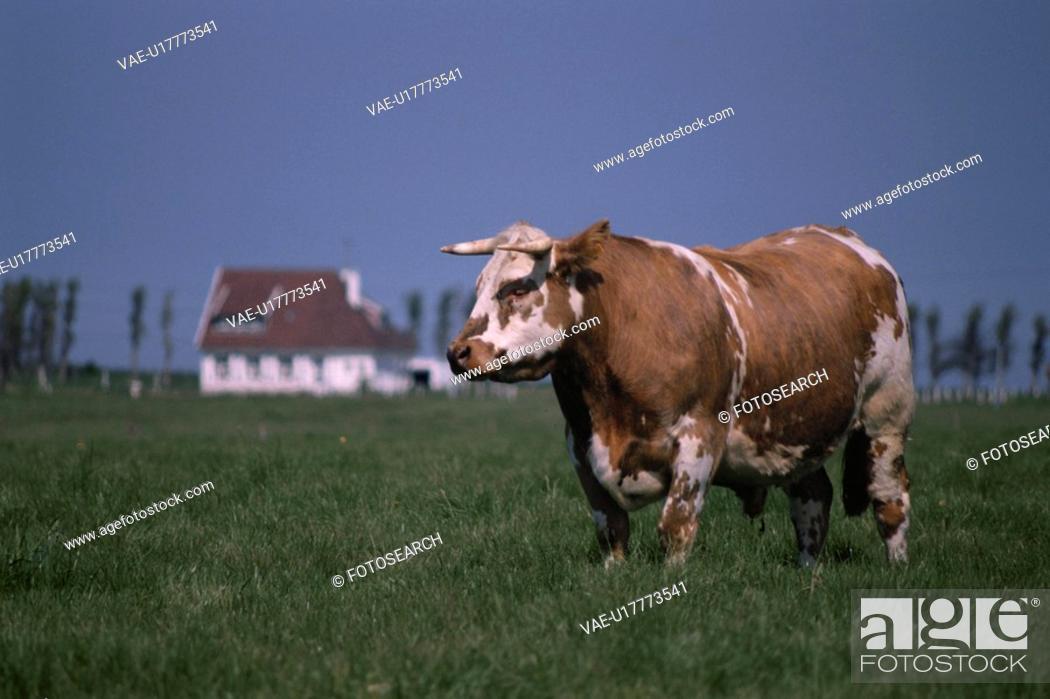 Stock Photo: Cow.