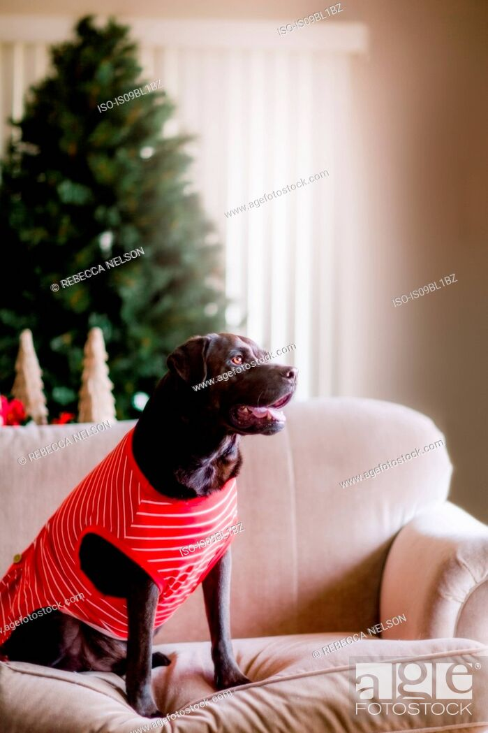 Stock Photo: Pet dog in t-shirt on sofa, Christmas tree in background.
