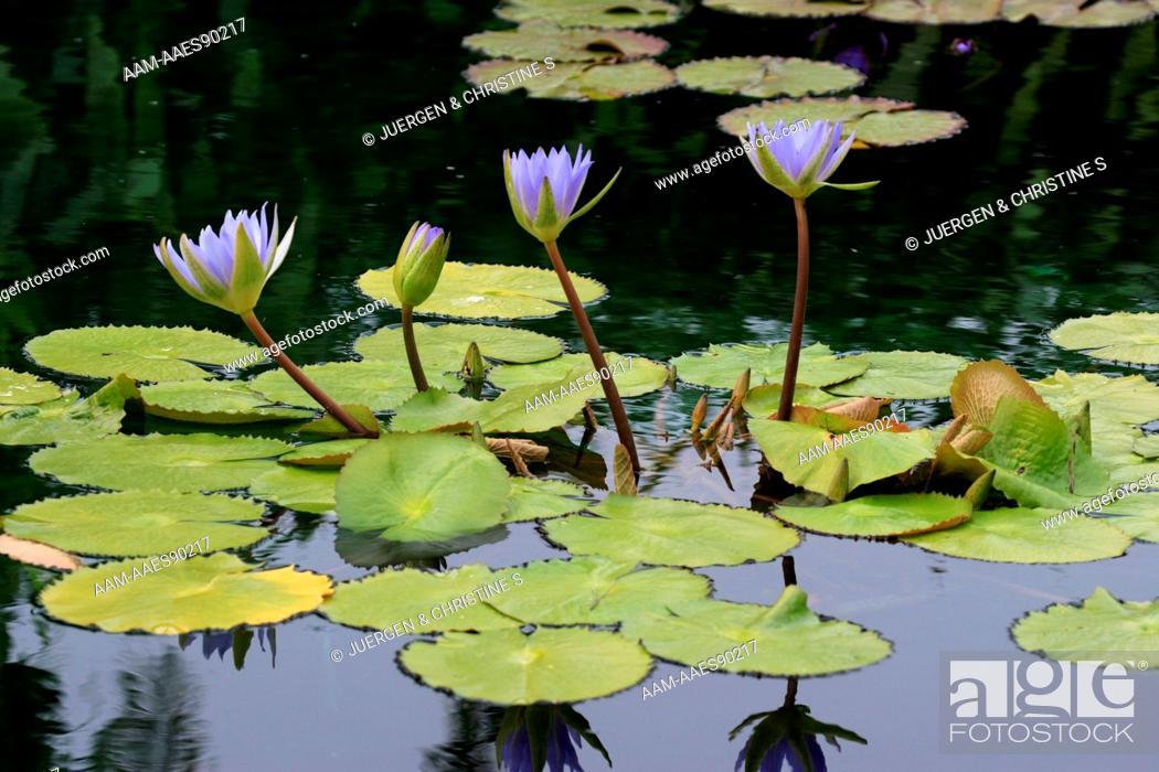 Stock Photo: Waterlily (Nymphaea) hybrid, Florida.