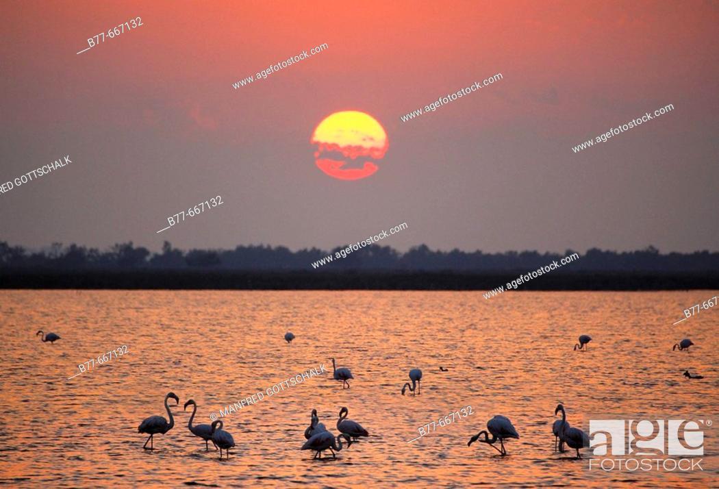 Stock Photo: Saintes-Maries-de-la-Mer, flamingos at sunset. Camargue. Bouches-du-Rhone. Provence-Alpes-Côte d'Azur. France.