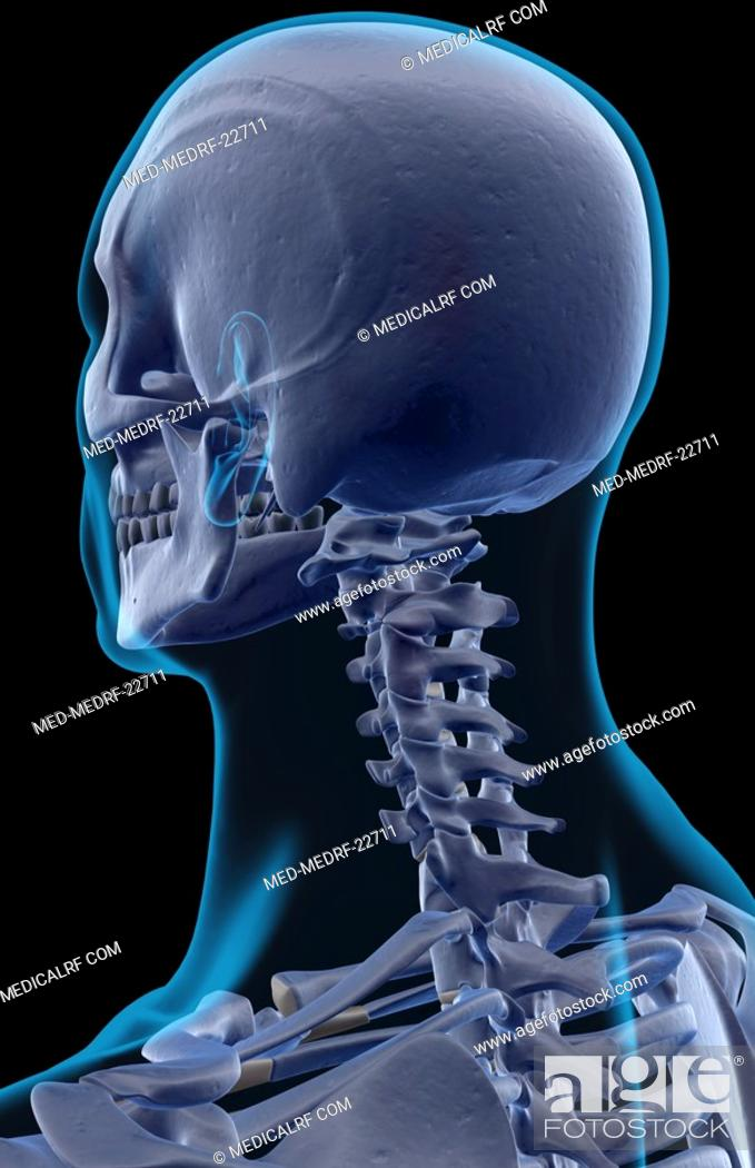 Stock Photo: The bones of the head and neck.