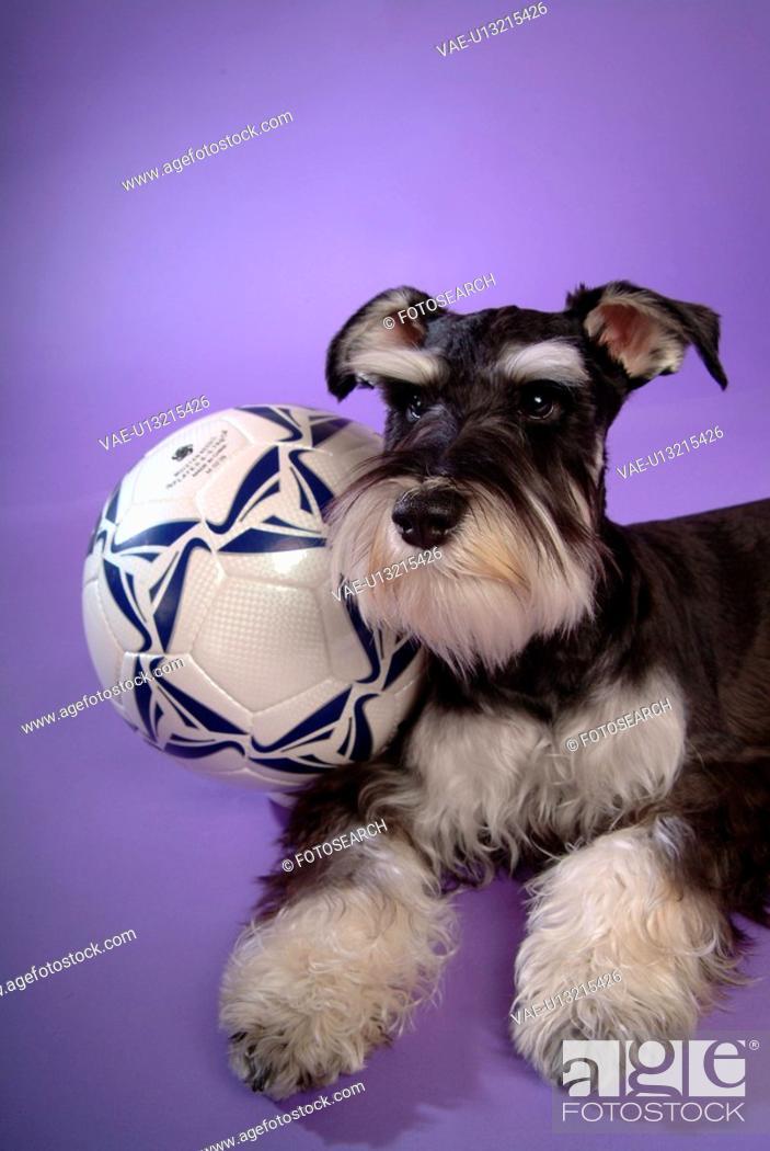 Stock Photo: pose, schnauzer, house pet, canines, domestic, posed, miniature schnauzer.