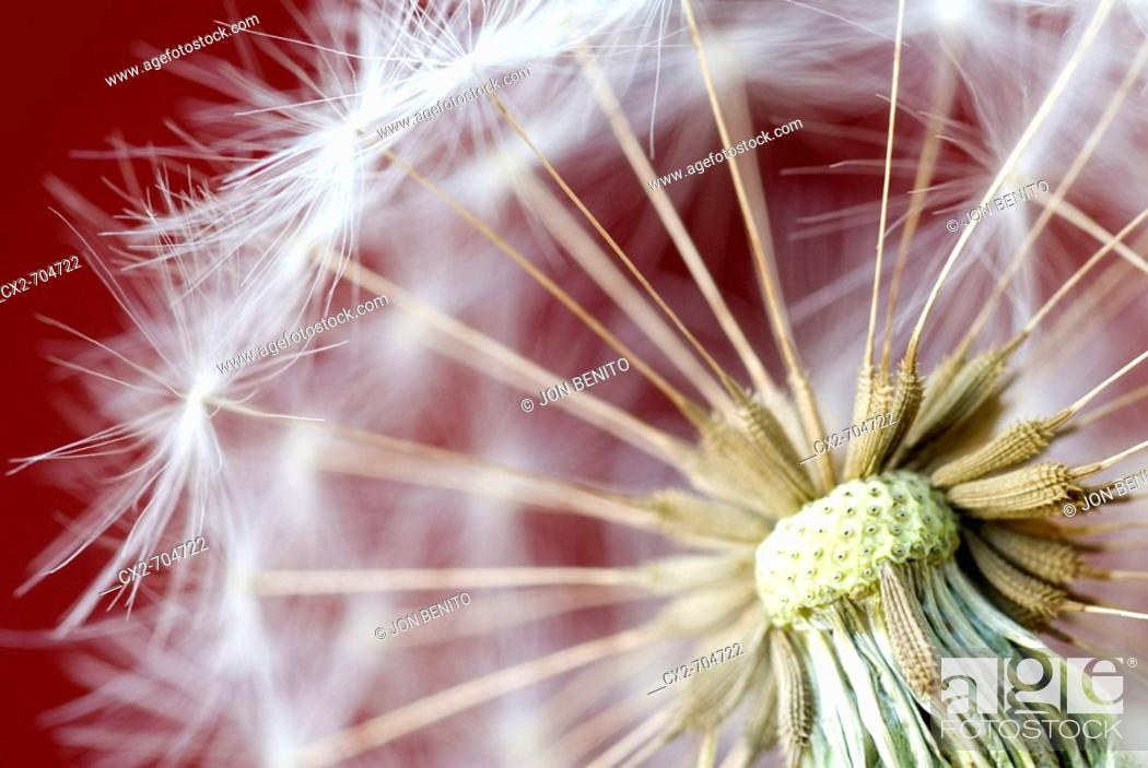 Stock Photo: Dandelion (Taraxacum officinale) detail.