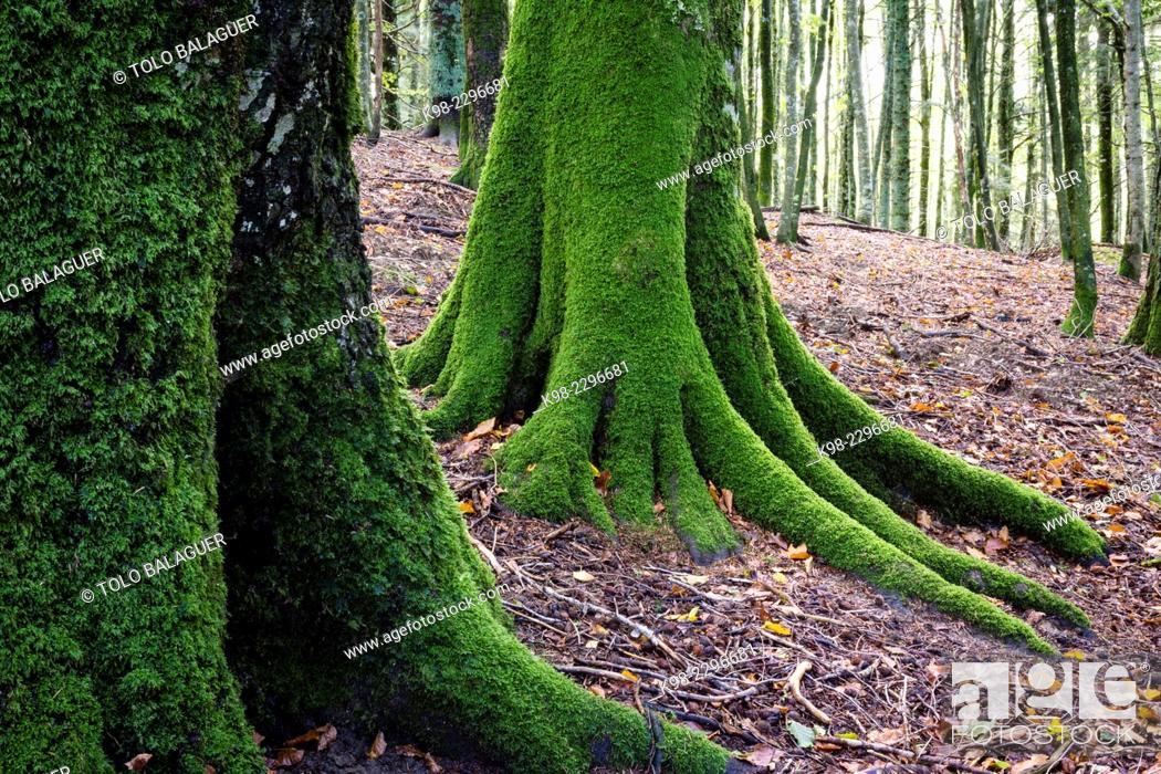 Imagen: Reserva integral de Lizardoia, Selva de Irati, Navarre, Spain.