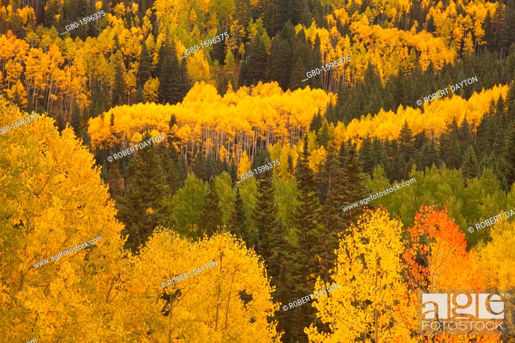 Stock Photo: Aspens in Autumn in the Rocky Mountains of Colorado.