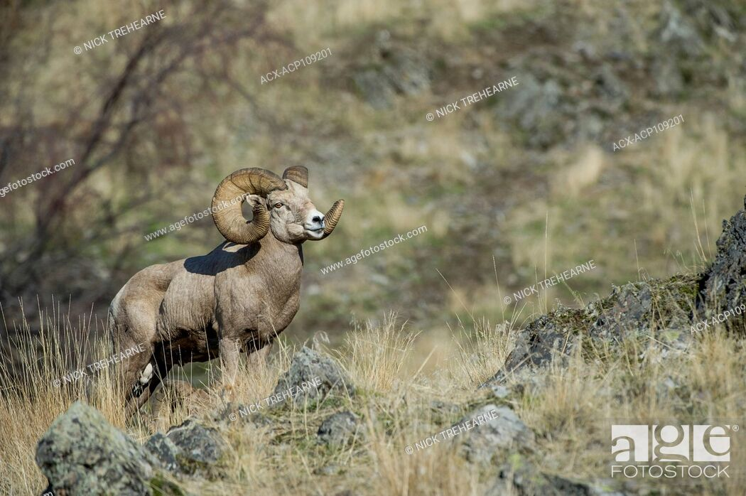 Stock Photo: Male Bighorn Sheep, Ovis canadensis, Central Montana, USA.