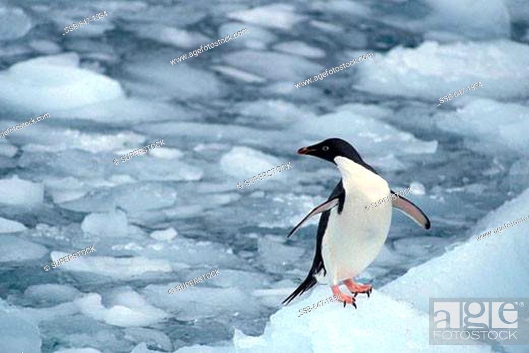 Stock Photo: High angle view of an Adelie penguin Pygoscelis adeliae on ice, Antarctica.