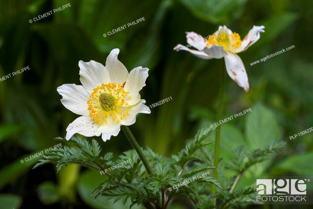 Imagen: Alpine pasqueflowers / Alpine anemones (Pulsatilla alpina) in flower.