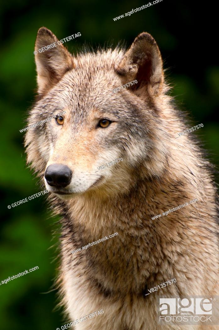 Stock Photo: Timber wolf, Oregon Zoo, Washington Park, Portland, OR.