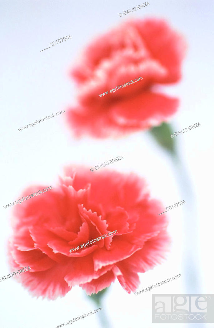 Stock Photo: Pink Carnations (Dianthus hybr.).