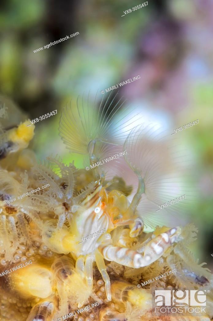 Stock Photo: Four-lobed Porcelain crab, Lissoporcellana quardrilobata, Anilao, Batangas, Philippines, Pacific.