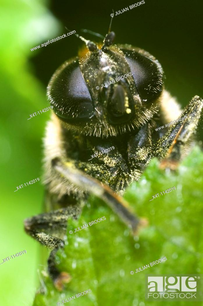 Stock Photo: Extreme close up of the face of a hoverfly, Eristalis species, looking over the edge of a leaf.