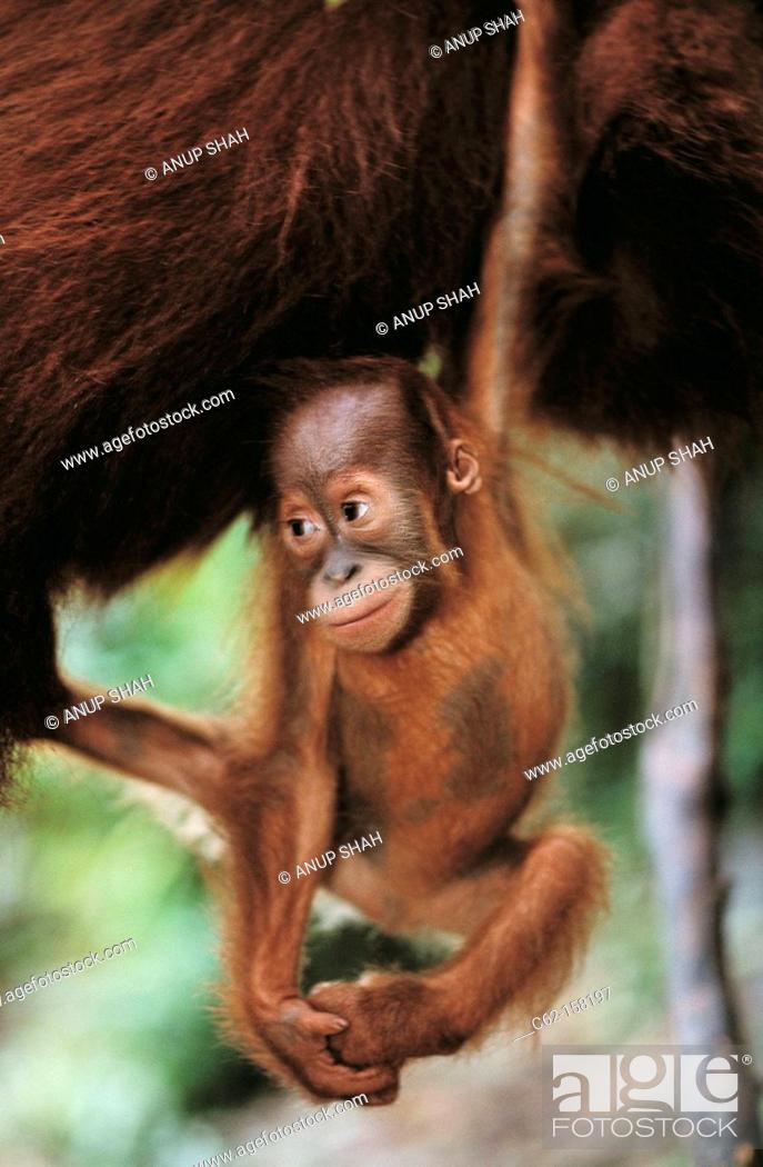 Stock Photo: Bornean Orangutan (Pongo pygmaeus), baby. Gunung Leuser National Park, Indonesia.