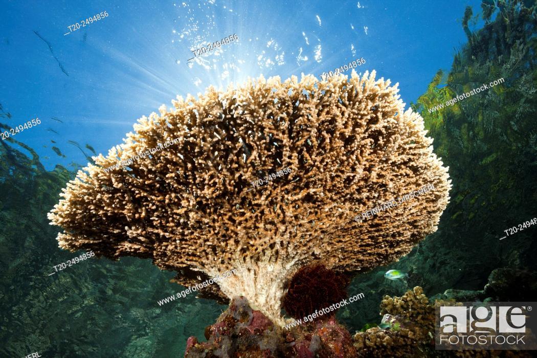 Stock Photo: Table Coral on Reef Top, Acropora sp. , Marovo Lagoon, Solomon Islands.