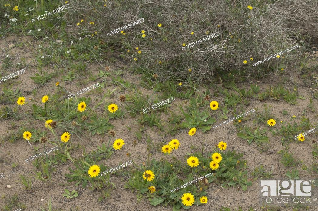 Stock Photo: Tanger reichardie (Reichardia tingitana). San Bartolome. Lanzarote. Canary Islands. Spain.