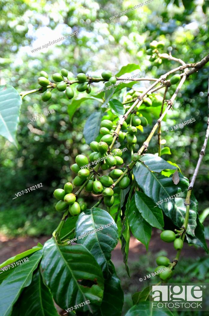 Imagen: Arabian coffee or arabica coffee (Coffea arabica) is a perennial tree or shrub native to highlands of Ethiopia and Yemen.