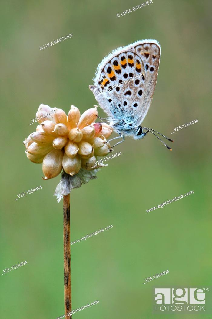 Stock Photo: Lycaenidae - Polyommatus icarus.