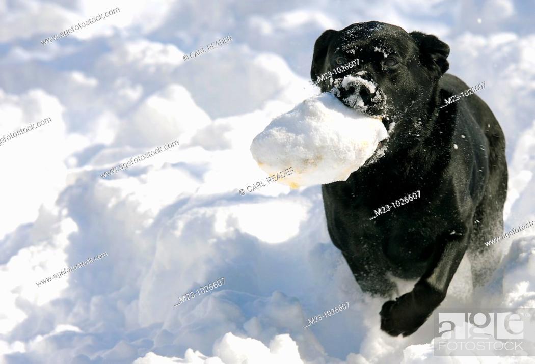Stock Photo: A black labrador retriever runs through the snow with her favorite toy, Pennsylvania, USA.