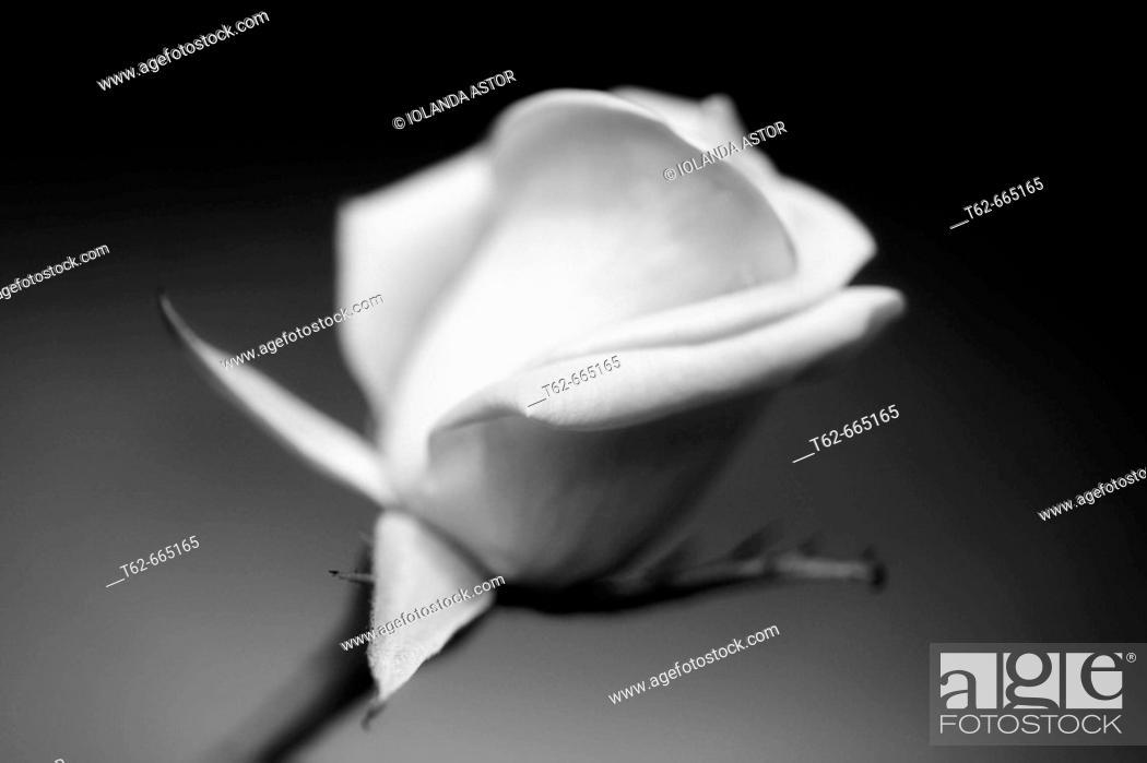 Stock Photo: Rose.