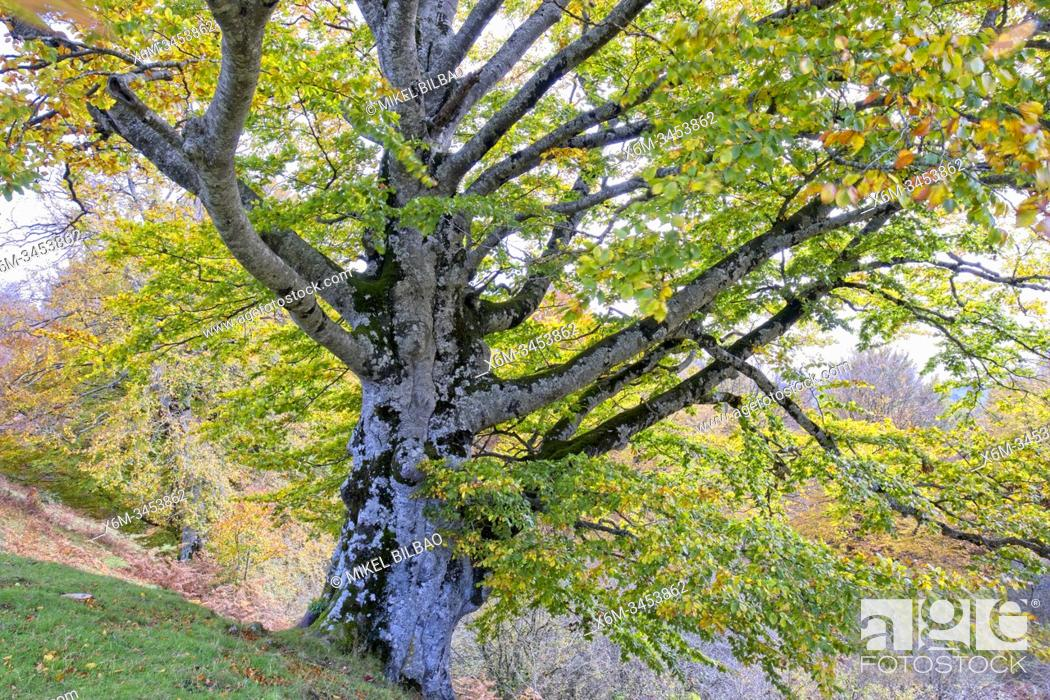 Stock Photo: Beech tree in autumn in a beechwood. Urbasa-Andia Natural Park. Navarre, Spain, Europe.