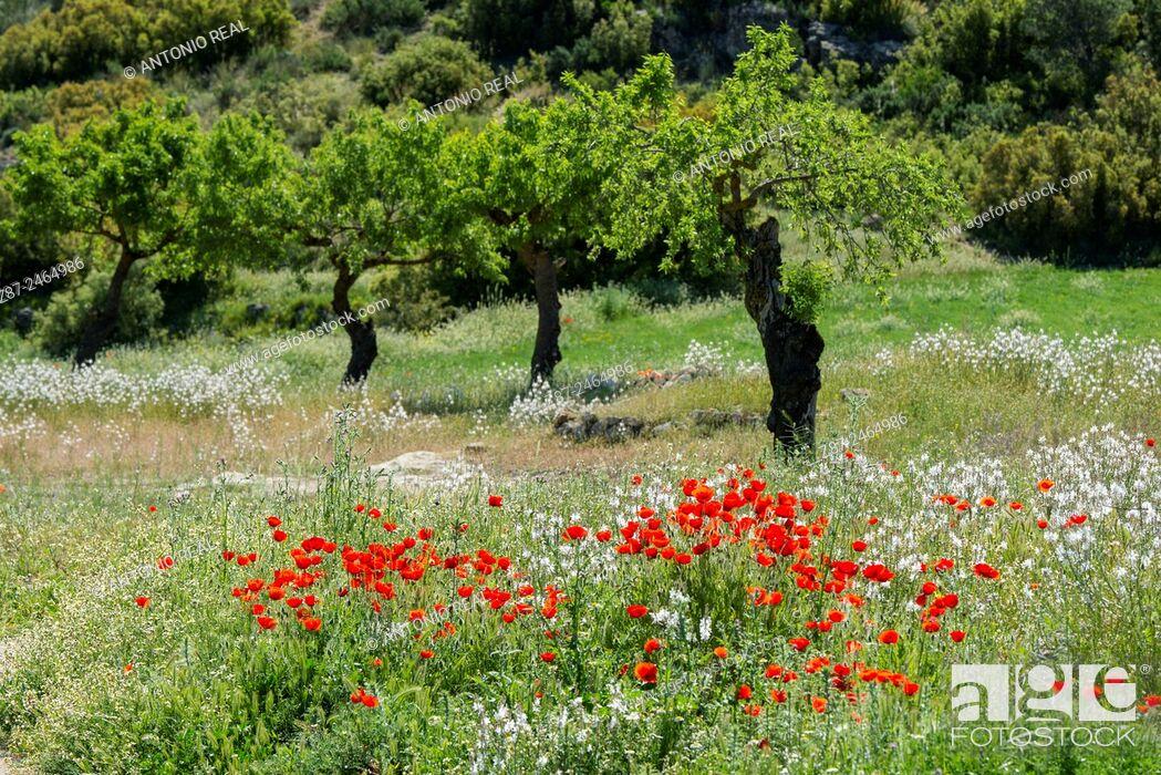 Stock Photo: Poppies (Papaver rhoeas), Almansa, Albacete province, Castilla-La Mancha, Spain.