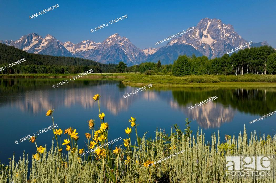 Stock Photo: Snake River and Mt. Moran, Mule's ears wildflowers in foreground, Wyethia arizonica, Grand Teton National Park, Wyoming, 7/19/2008.