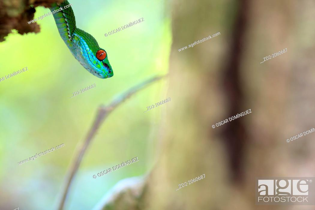Stock Photo: Ruby-eyed Green Pitviper (Cryptelytrops rubeus). Cat Tien National Park. Vietnam. Newly discovered species.